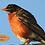 Thumbnail: Robin