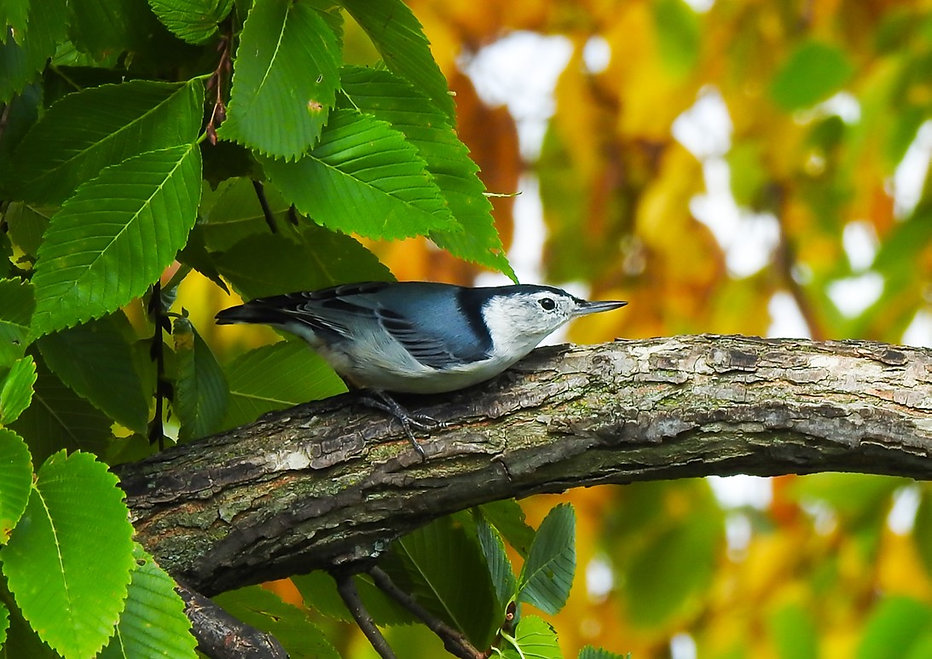 Nuthatch Canvas.jpg