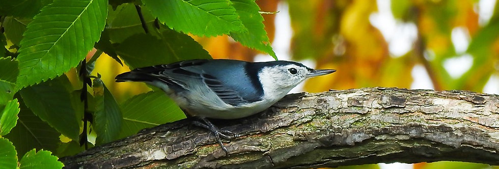 The Decorative Series: White-breasted Nuthatch Canvas Wall Art