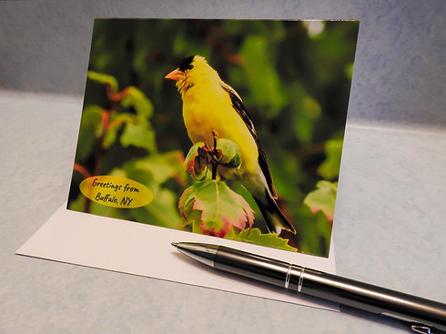 Goldfinch Buffalo JPG.jpg