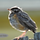 Thumbnail: Juvenile Robin