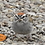Thumbnail: Chipping Sparrow