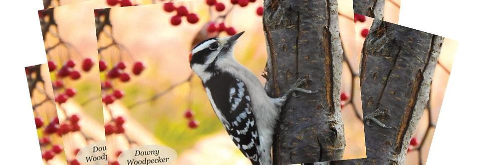 Downy Woodpecker Postcards