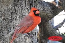 Cardinal Postcard.jpg