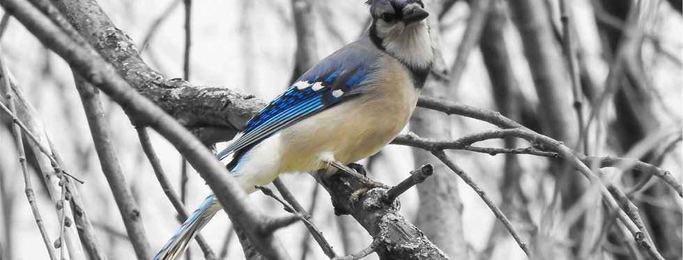 The Urban Series: Blue Jay Canvas Wall Art