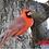 Thumbnail: Cardinal