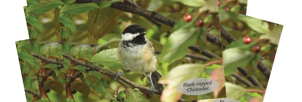 Black-capped Chickadee Postcards