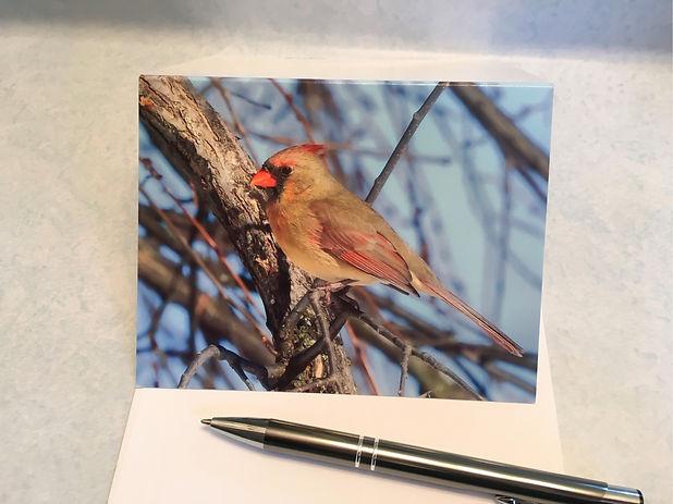 Female Cardinal Blank JPG.jpg