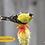 Thumbnail: Goldfinch