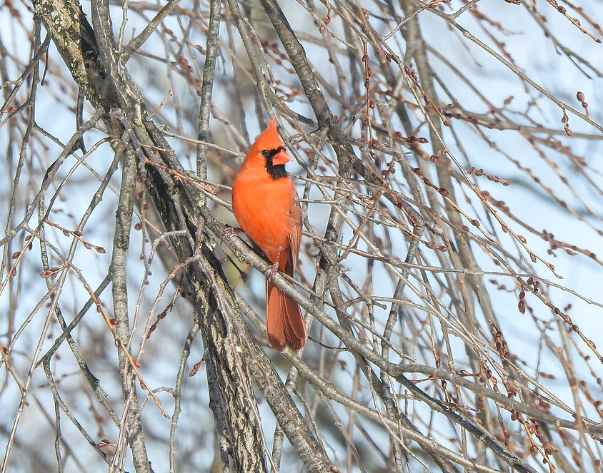 Cardinal 2-11.jpg