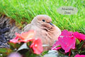 Mourning Dove JPG.jpg