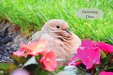 Mourning Dove JPG.jpg