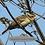 Thumbnail: Female Rose-breasted Grosbeak