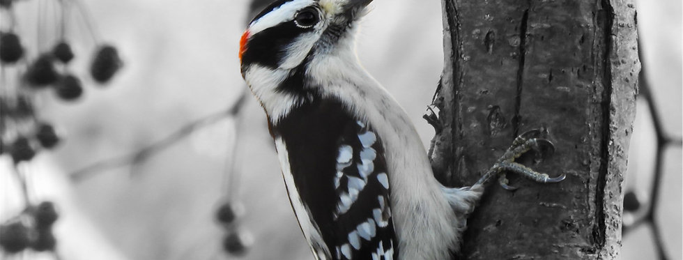 The Urban Series: Downy Woodpecker Canvas Wall Art