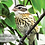 Thumbnail: Juvenile Female Rose-breasted Grosbeak