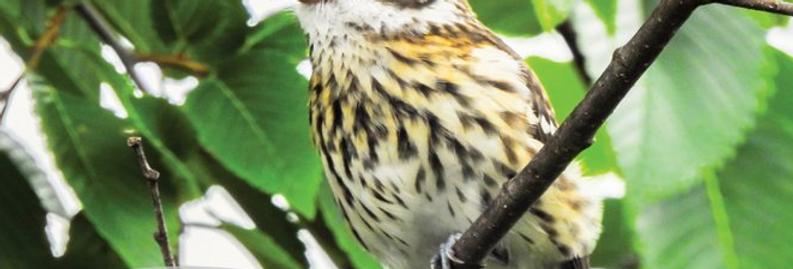 Juvenile Female Rose-breasted Grosbeak