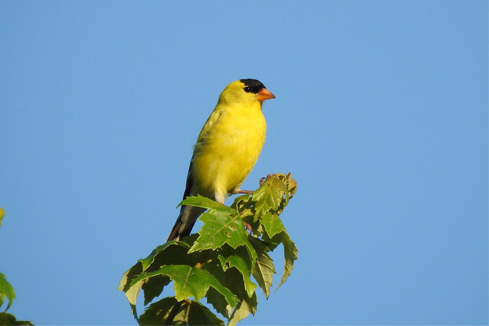 Goldfinch JPG.jpg