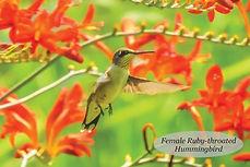 Hummingbird Postcard.jpg