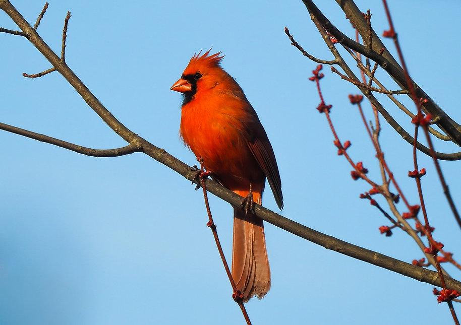 Cardinal Greeting Cards