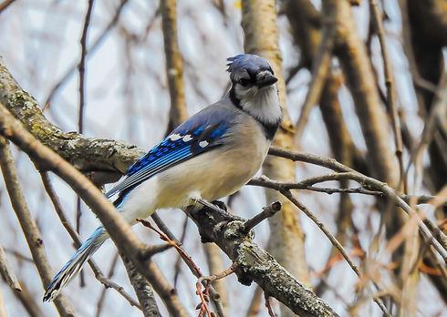 Blue Jay Canvas.jpg