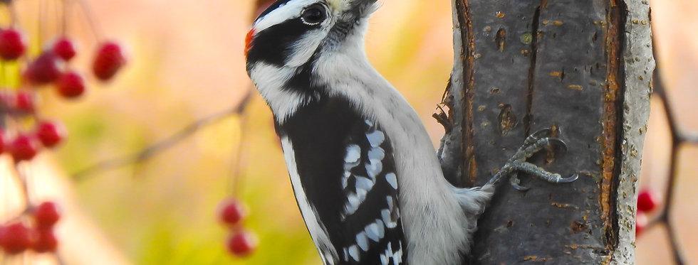 Downy Woodpecker Canvas Wall Art