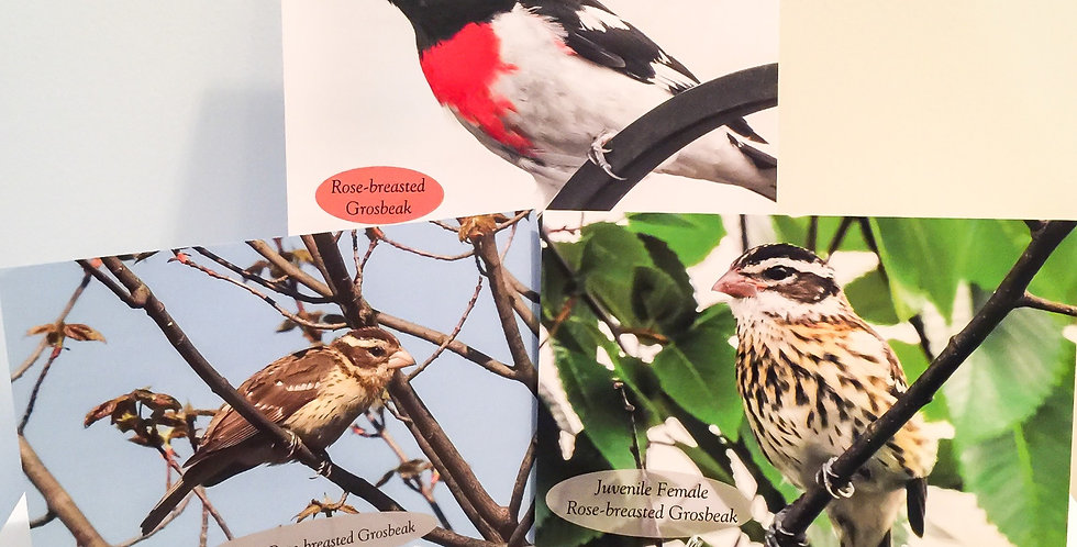 Rose-breasted Grosbeak Set (3 Photos)