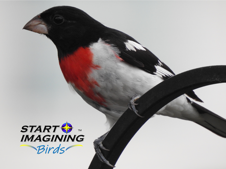 Grosbeaks, Cardinals, and More!
