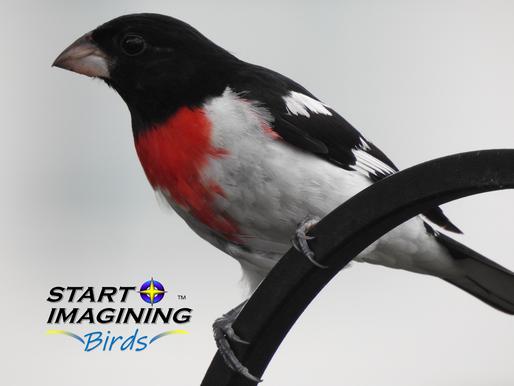 Grosbeaks, Cardinals, and More!