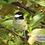 Thumbnail: Black-capped Chickadee