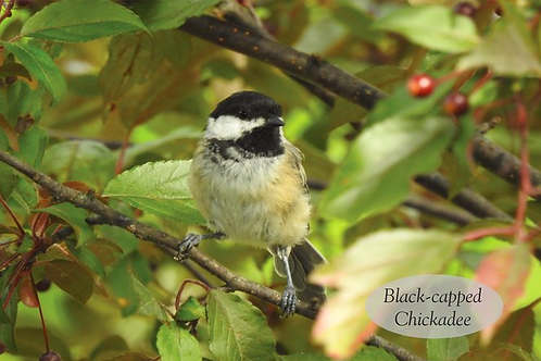 Black-capped Chickadee Postcards (Packs starting at $5.49)