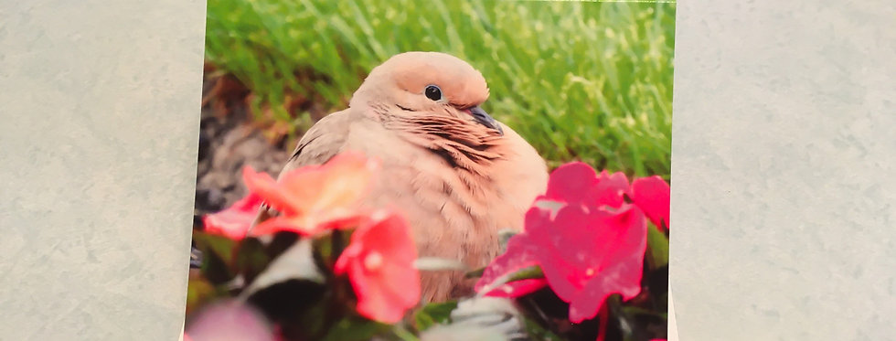 Mourning Dove Blank Note Card
