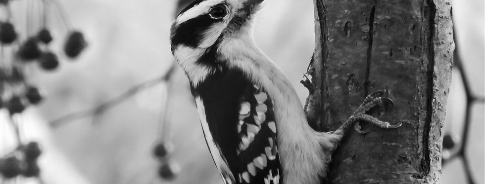 The Classic Series: Downy Woodpecker Canvas Wall Art
