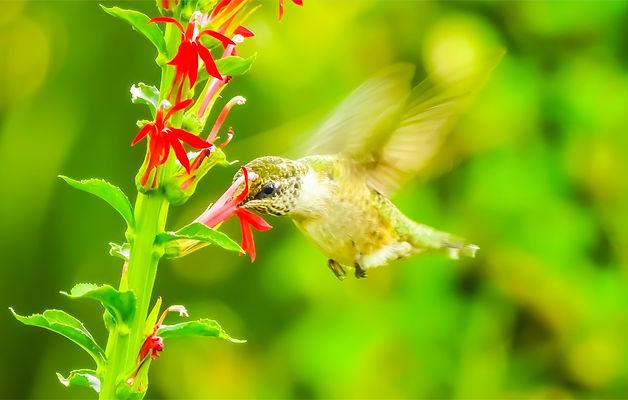 Hummingbird Canvas.jpg