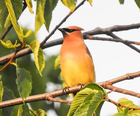 Waxwing Canvas edited.jpg