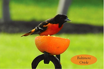 Baltimore Oriole Chirps of Joy