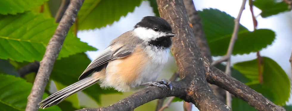 The Decorative Series: Black-capped Chickadee Canvas Wall Art