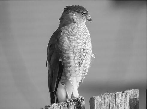 Hawk CLASSIC.jpg