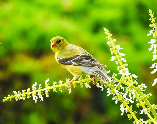Goldfinch 8-23_edited.jpg