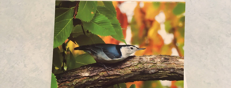 White-breasted Nuthatch Blank Note Card