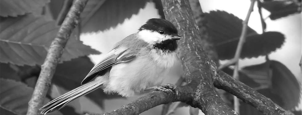 The Classic Series: Black-capped Chickadee Canvas Wall Art