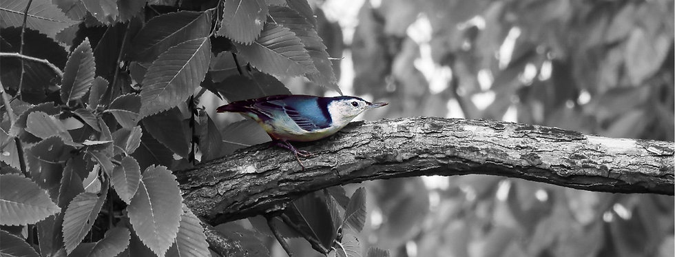 The Urban Series: White-breasted Nuthatch Canvas Wall Art