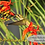 Thumbnail: Ruby-throated Hummingbird