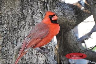 Cardinal JPG.jpg