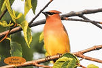Cedar Waxwing Postcard.jpg