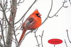 Cardinal 3.jpeg