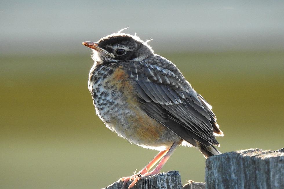 Start Imagining Birds Juvenile Robin