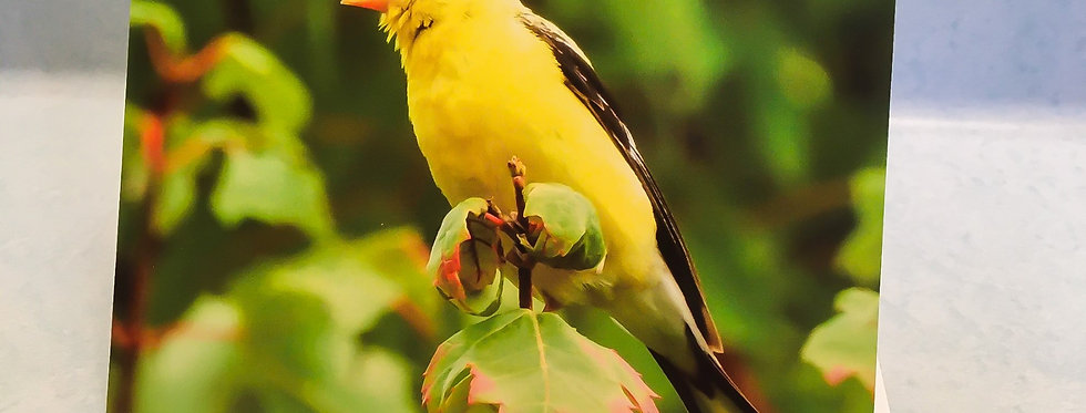 American Goldfinch 2 Blank Note Card