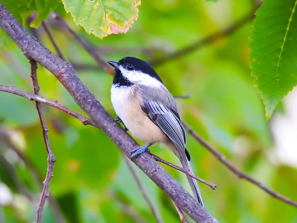 Black-capped Chickadee Start Imagining Birds
