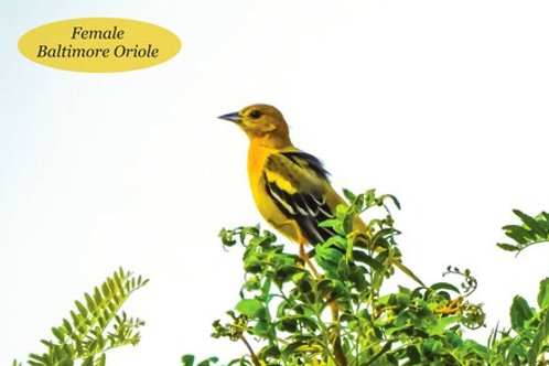 Female Baltimore Oriole Postcards (Packs starting at $5.49)