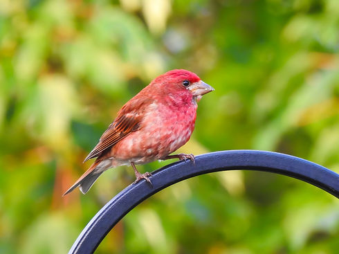 Start Imagining Birds Purple Finch